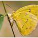 Mariposa Azufre de Bandas Naranja - Photo (c) Jose Amorin, algunos derechos reservados (CC BY-NC-SA)