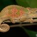 Bradypodion caeruleogula - Photo (c) Tyrone Ping, μερικά δικαιώματα διατηρούνται (CC BY-NC)