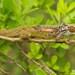 Bradypodion transvaalense - Photo (c) Tyrone Ping, algunos derechos reservados (CC BY-NC)