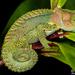 Bradypodion damaranum - Photo (c) Tyrone Ping, algunos derechos reservados (CC BY-NC)