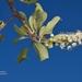 Terminalia prunioides - Photo (c) i_c_riddell, alguns direitos reservados (CC BY)