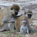 Vervet Monkey - Photo (c) alexeypavlushkin, some rights reserved (CC BY-NC)