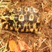 Eastern Hinge Tortoise - Photo (c) magdastlucia, some rights reserved (CC BY-NC)