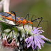 Milkweed Assassin Bug - Photo (c) Mary Keim, some rights reserved (CC BY-NC-SA)