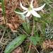 Erythronium oregonum - Photo (c) J Brew, algunos derechos reservados (CC BY-SA), uploaded by John Brew