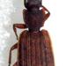 Platytarus tessellatus - Photo (c) Botswanabugs, some rights reserved (CC BY-NC)