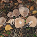 Lactarius glyciosmus - Photo (c) Jerry, μερικά δικαιώματα διατηρούνται (CC BY), uploaded by Jerry Cooper