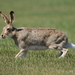 Lebre-de-Cauda-Branca - Photo (c) Janet Hill, alguns direitos reservados (CC BY-NC-SA)