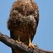 Buteo buteo vulpinus - Photo (c) copper, algunos derechos reservados (CC BY-NC)