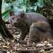 Fossa - Photo (c) Cloudtail the Snow Leopard, some rights reserved (CC BY-NC-ND)