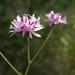 Palafoxia callosa - Photo (c) Josh*m, algunos derechos reservados (CC BY-NC-SA)