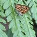 Neurellipes pyroptera - Photo (c) Stefaneakame,  זכויות יוצרים חלקיות (CC BY-NC)