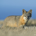 Island Fox - Photo (c) Kevin Schafer, some rights reserved (CC BY-NC-ND)