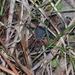 Eumesosoma - Photo (c) Linda Gail Price, alguns direitos reservados (CC BY-NC)