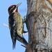 Carpintero Nuca Roja - Photo (c) Nature Ali, algunos derechos reservados (CC BY-NC-ND)