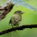 Dwarf Tyrant-Manakin - Photo (c) thibaudaronson, some rights reserved (CC BY-SA)