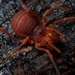 Sclerobunus nondimorphicus - Photo (c) Rand Workman, algunos derechos reservados (CC BY-SA)