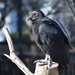 Black Vulture - Photo (c) Bobby McCabe, some rights reserved (CC BY-NC)