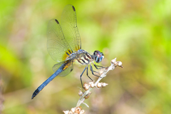 Blue Dasher - Photo (c) Royal Tyler, some rights reserved (CC BY-NC-SA)
