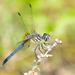 Rayadora Azul - Photo (c) Royal Tyler, algunos derechos reservados (CC BY-NC-SA)