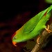 Sri Lanka Hanging-Parrot - Photo (c) Hafiz Issadeen, some rights reserved (CC BY)