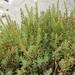 Suaeda australis - Photo (c) Tindo2, μερικά δικαιώματα διατηρούνται (CC BY-NC)
