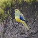 Blue-winged Parrot - Photo (c) David Cook, some rights reserved (CC BY-NC)