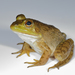 American Water Frogs - Photo (c) eggimann, some rights reserved (CC BY-NC)