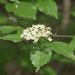 Viburnum rafinesqueanum - Photo (c) rayrob, algunos derechos reservados (CC BY-NC)