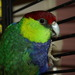 Red-capped Parrot - Photo (c) Bill & Mark Bell, some rights reserved (CC BY-NC-SA)