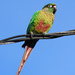 Maroon-bellied Parakeet - Photo (c) José Cláudio Guimarães Martins, some rights reserved (CC BY-NC-ND)