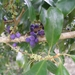 Myrsine variabilis - Photo (c) eyeweed, algunos derechos reservados (CC BY-NC-ND)