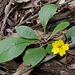 Ivy Goodenia - Photo (c) Michael Jefferies, some rights reserved (CC BY-NC)