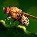 Sapromyza - Photo (c) Dougal Townsend,  זכויות יוצרים חלקיות (CC BY-NC)