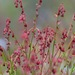 Gonocarpus tetragynus - Photo (c) sunphlo, algunos derechos reservados (CC BY-NC-ND)