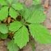 Causonis japonica - Photo (c) Zinogre,  זכויות יוצרים חלקיות (CC BY-SA)