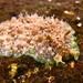 Dolabrifera brazieri - Photo (c) Sylke Rohrlach,  זכויות יוצרים חלקיות (CC BY-SA)