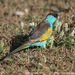 Hooded Parrot - Photo (c) Tom Tarrant, some rights reserved (CC BY-NC-SA)