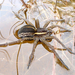 Dolomedes fimbriatus - Photo (c) Chris Moody, algunos derechos reservados (CC BY-NC)