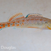 Etheostoma spectabile - Photo (c) Ryan, algunos derechos reservados (CC BY-NC)