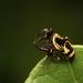 Rhene flavicomans - Photo (c) sunnyjosef, algunos derechos reservados (CC BY)