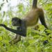 Monos Araña - Photo (c) Kevin Schafer, algunos derechos reservados (CC BY-NC-ND)