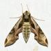 Eumorpha pandorus - Photo (c) Royal Tyler,  זכויות יוצרים חלקיות (CC BY-NC-SA)