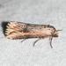 Crambodes talidiformis - Photo (c) Royal Tyler, algunos derechos reservados (CC BY-NC-SA)