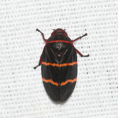 Two-lined Spittlebug - Photo (c) Royal Tyler, some rights reserved (CC BY-NC-SA)