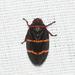 Prosapia bicincta - Photo (c) Royal Tyler, algunos derechos reservados (CC BY-NC-SA)