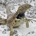 Microlophus - Photo (c) Cheryl McCleary-Catalano, osa oikeuksista pidätetään (CC BY)
