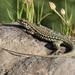 Tyrrhenian Wall Lizard - Photo (c) Tom Heller, some rights reserved (CC BY-NC-SA)