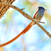 African Paradise-Flycatcher - Photo (c) blingbeek, some rights reserved (CC BY-NC)