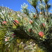 Leucadendron album - Photo (c) Robert Blackhall-Miles and Ben Ram, algunos derechos reservados (CC BY-NC)
